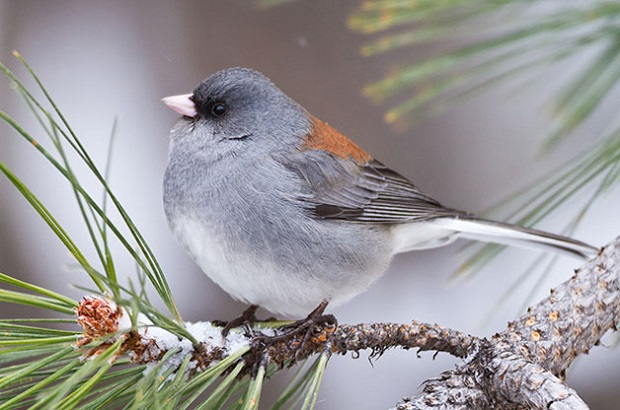 David Shaw Grey-headed junco