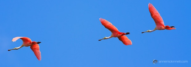 Three Roseate Spoonbills in flight at the Merritt Island Wildlife Refuge, Florida.